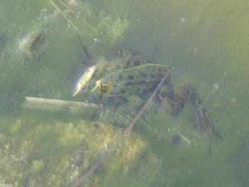 étang,grenouille,