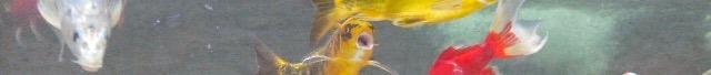poissons,muet,