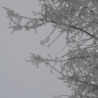 neige,tamaris,hiver,branches,