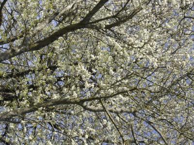 cerisier,printemps,