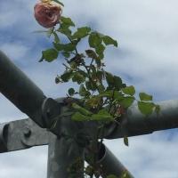 rose,tonnelle,vent,