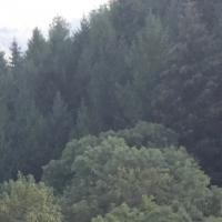 forêt,sapins,vert,