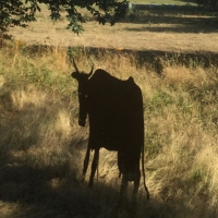 vache,ombre,troupeau,