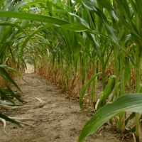 maïs,chemin,