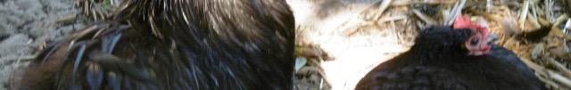 plumes,poules,