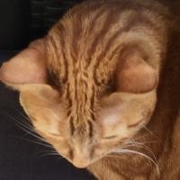 chat,tête,