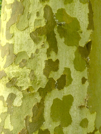 arbre,écorce,camouflage,