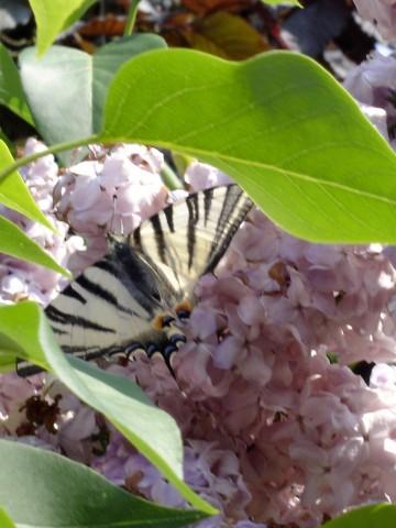 papillon,lilas,