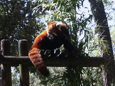panda,