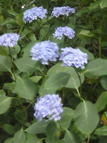 hortensia bleu,