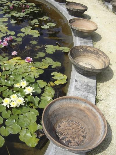 grenouille,lotus,