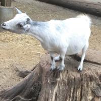 chèvre,biquette,