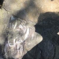 ombre,tigre,pierre,