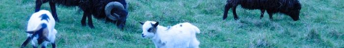 moutons,bélier,