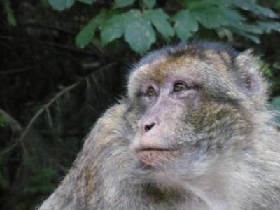 singe,macaque,