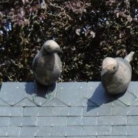 toit,ardoises,pigeons,