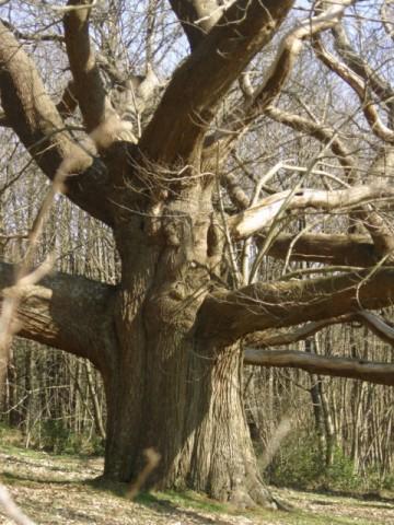 arbre,châtaigner,