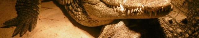 reptile,crocodile,