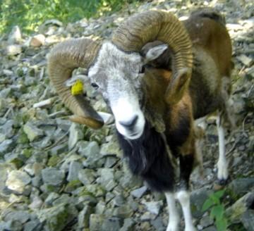 mouton,